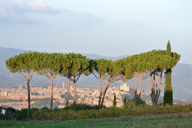 Umbrella trees and Orvieto at dusk