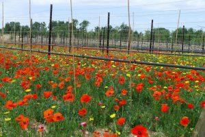 Italian farmland in Puglia with wildflowers