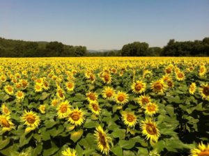 Yoga_retreat__Rome_sunflower_field