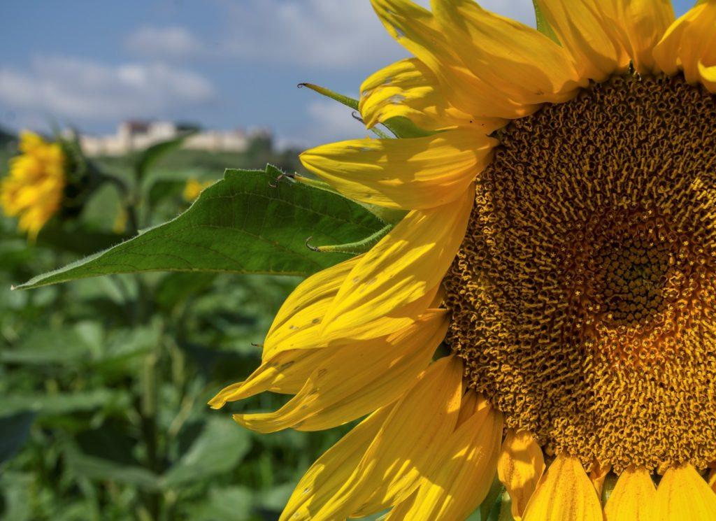 sunflovwer