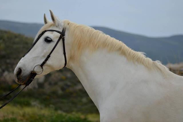 White Andalucian horse ready for riding at dusk