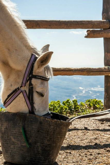 white riding andalucian horse drinking from bucket