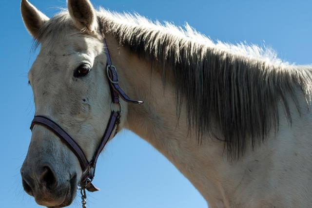 white andalucian horse close up