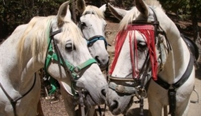 three white Andalucia horses ready for holiday riders