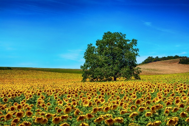 Large tree in a field of sunflowers with bright blue sky