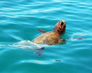 caretta caretta turtle in the sea