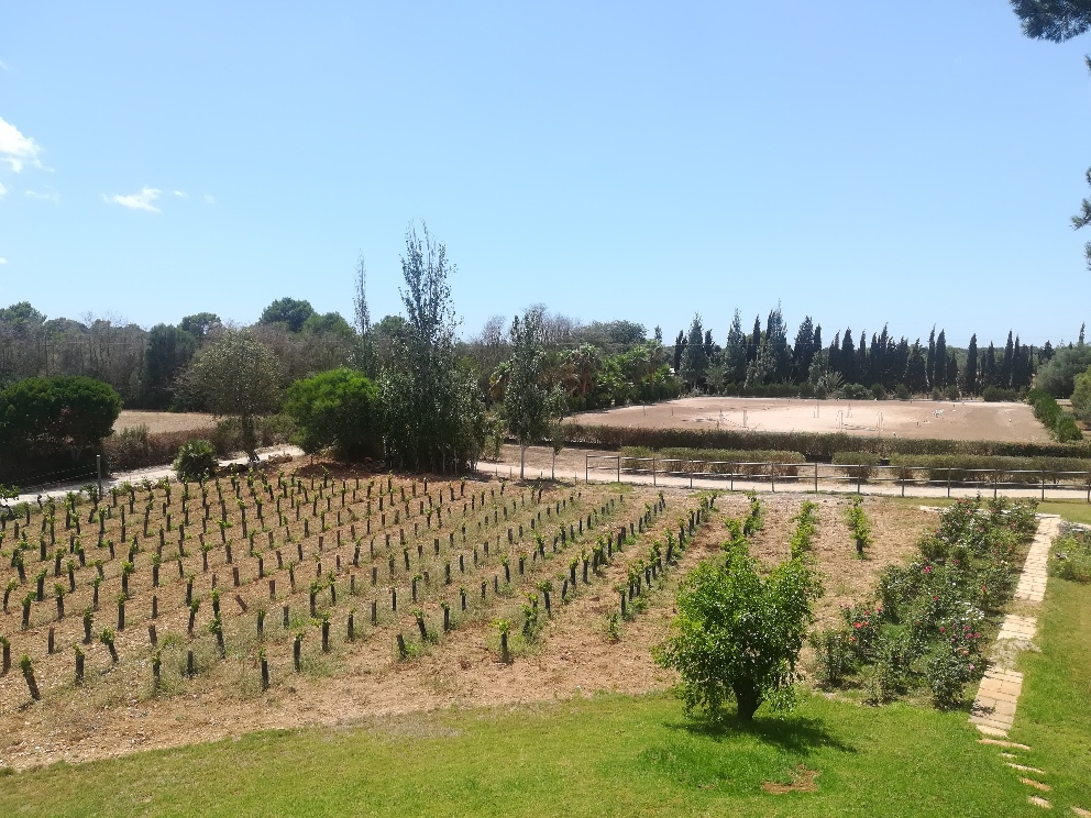 vineyards at equestrian centre in Majorca