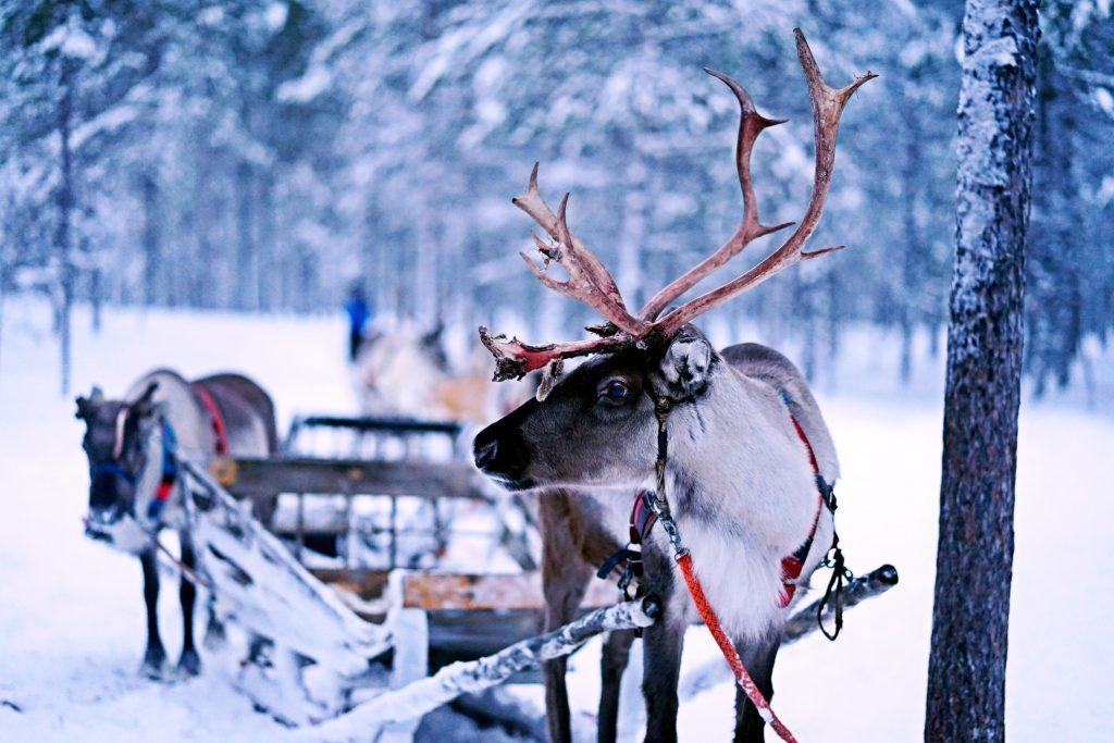 reindeer pulling a sleigh in lapland