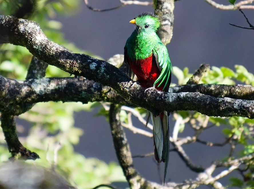 The Quetzal Bird and its shocking red and green plumage - Coata Rica - Not in the Guidebooks