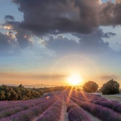 Sunset over lavender fields in Provence, France