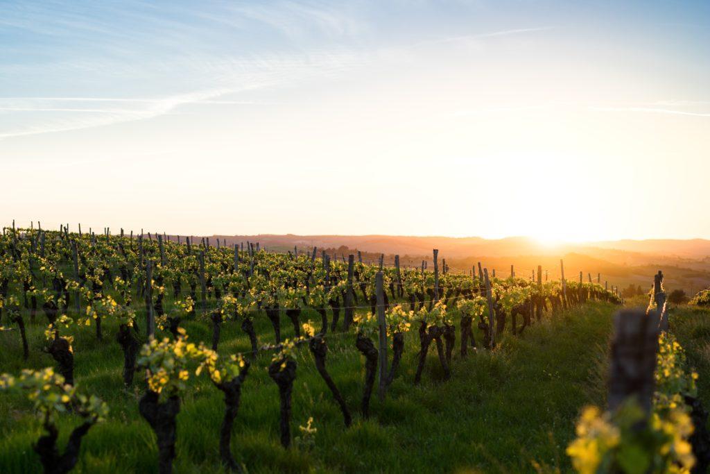 vineyard in gascony