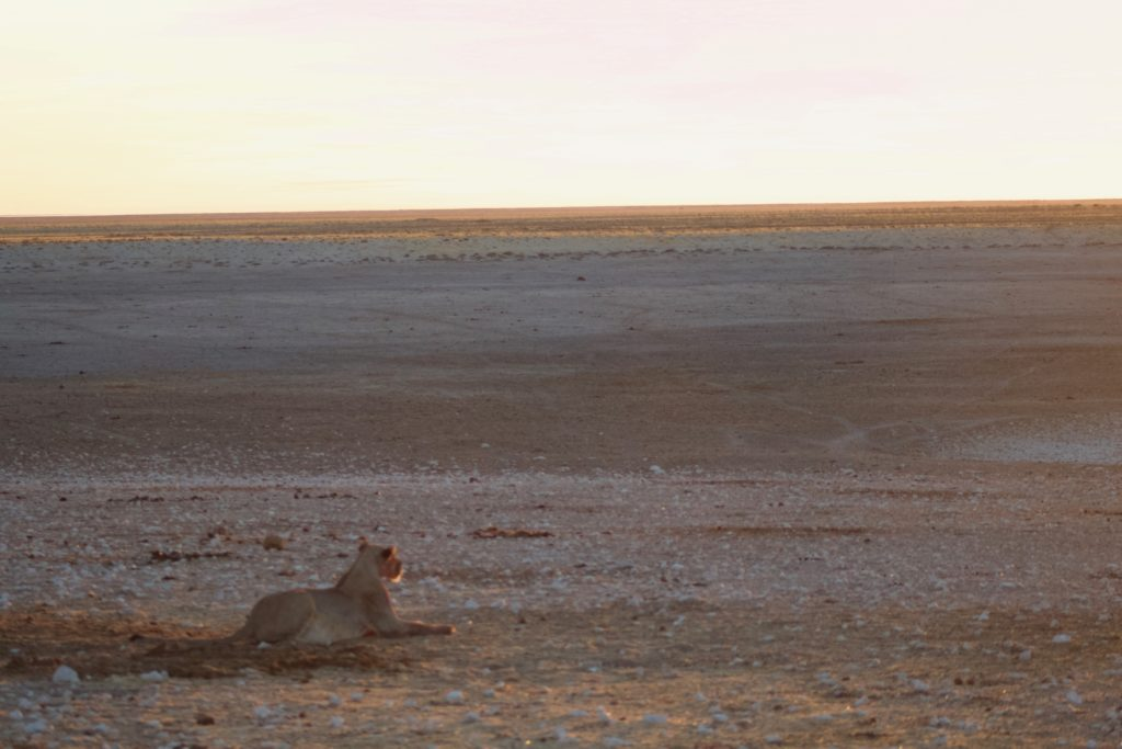 lion at sunrise in namibia