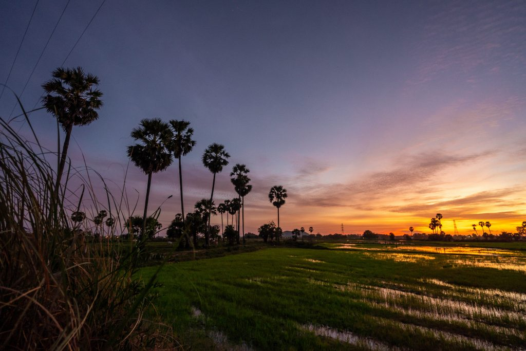 palm trees and rice paddies in cambodia